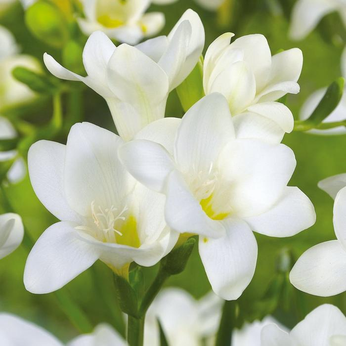 White Freesia Flower Spray