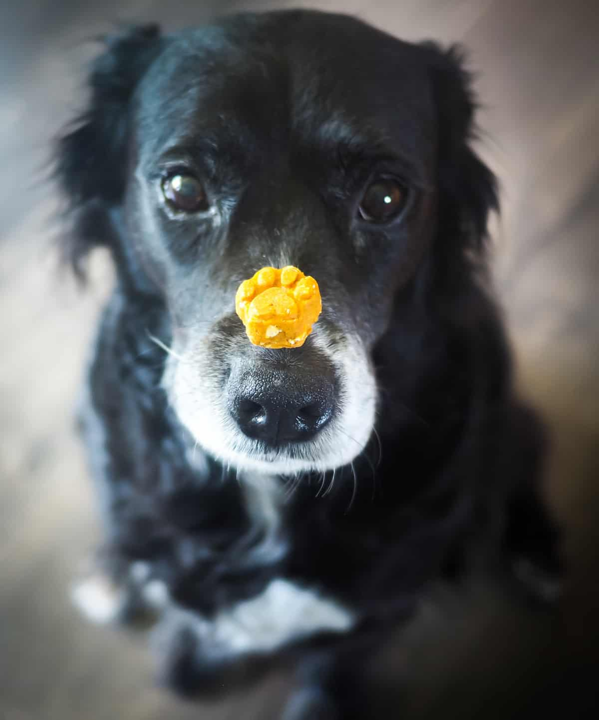 a black dog with a treat on her nose