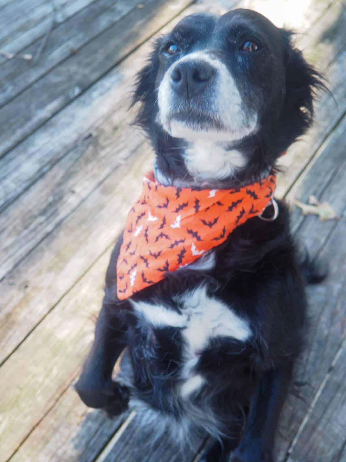 A black and white dog in an orange bandana sitting pretty for a treat.
