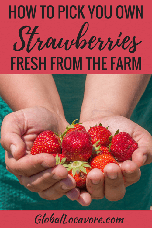 How To Pick Your Own Strawberries on the Farm