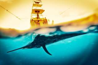 The sailfish caught and captured in two worlds.