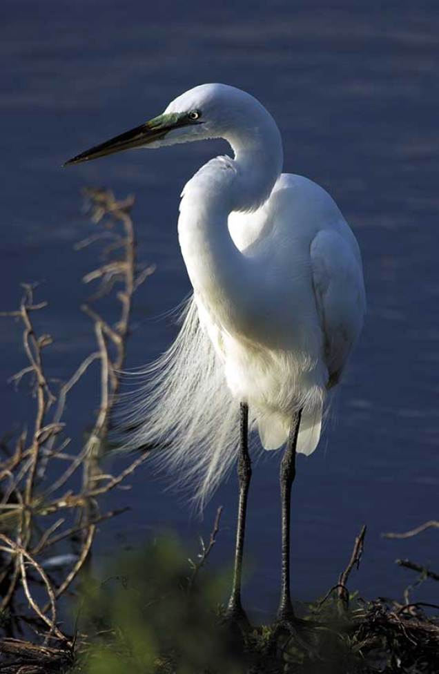 Great white egret with breeding plumage. These beautiful wading birds are easily viewed from numerous locations including nature sanctuaries and coastal areas. Photo credit: Naples, Marco Island, Everglades CVB