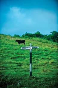 Black cow and a rare road sign in the Scotland District, a hilly highland region in northeastern Barbados.
