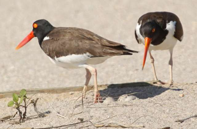 Seen at Hart-Miller Island State Park: American Oyster catcher