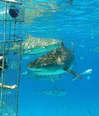 diving with sharks at bimini shark lab