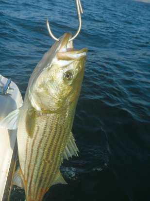 An image of a striped bass from bass fishing