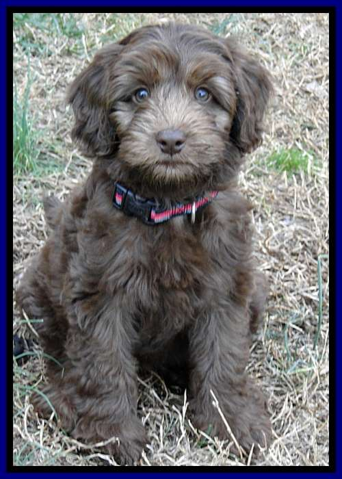 Labradoodle Puppies For Sale In Pa : labradoodle, puppies, Southern, Charm, Labradoodles, American, Australian, Labradoodle, Puppy, Breeder,, Puppies, Georgia,, Breeders, Georgia, Basics
