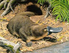Platypuses have venom