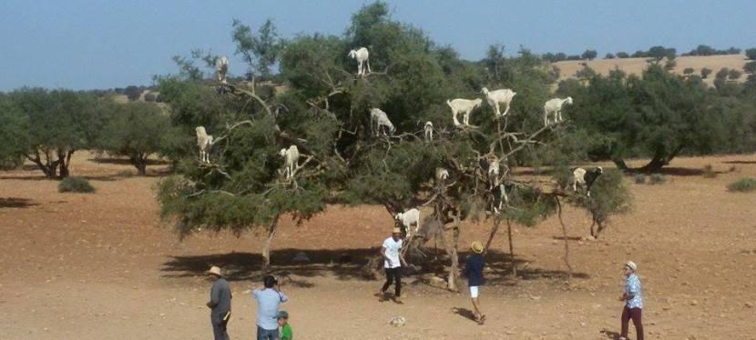 Essaouira…When Goats Fly