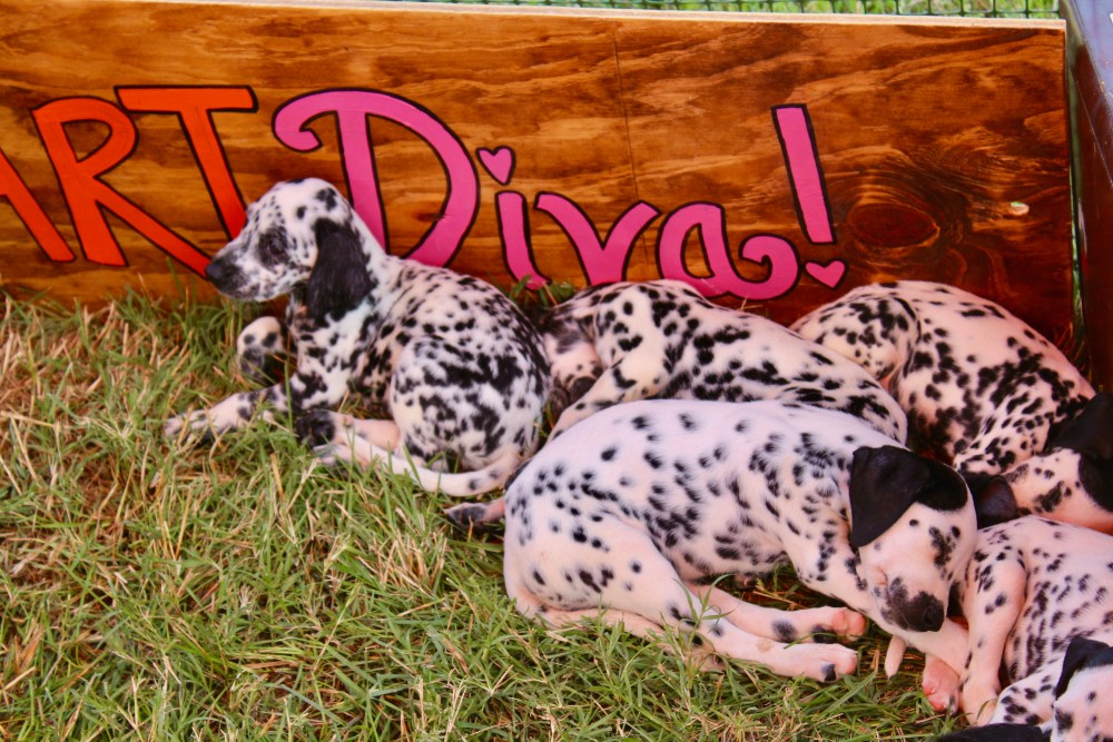 Dalmation puppies at Victory Cup Nashville