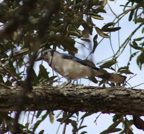 Blue Jay at Fred Gannon Rocky Bayou