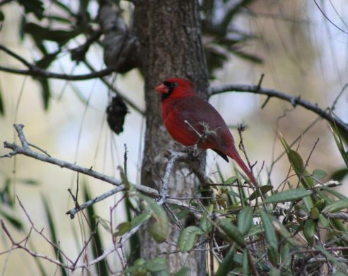 Another Red Cardinal at Silver River