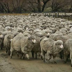 Merino sheep being shifted for shearing in the Cardrona Valley