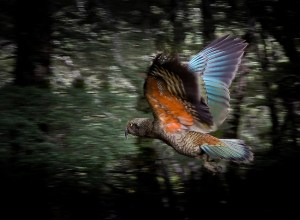 Flying kea, NZ