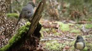 South Island robins