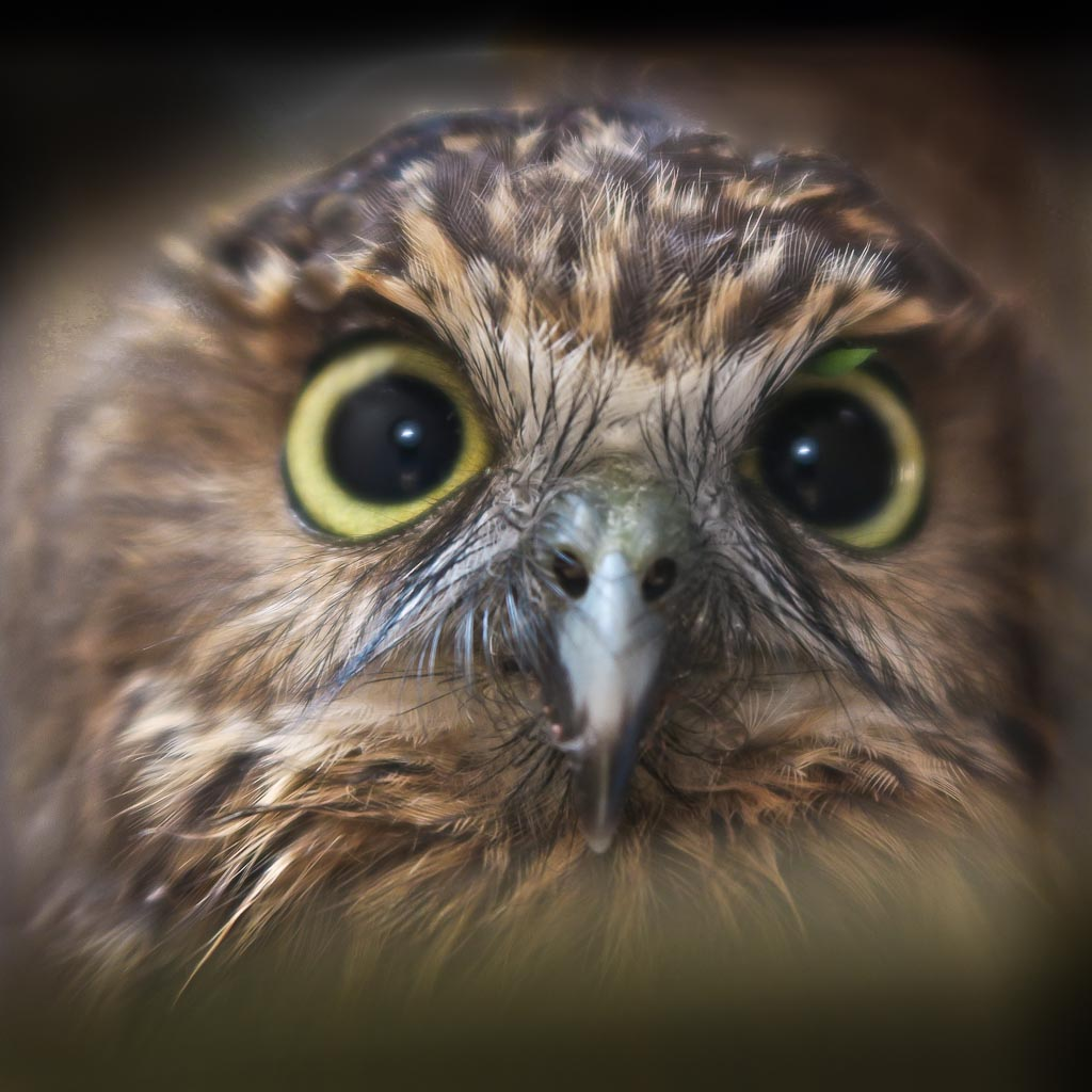 Bonding with a bird of the night ~ the ruru (morepork) is associated with the spirit world of the Māori...