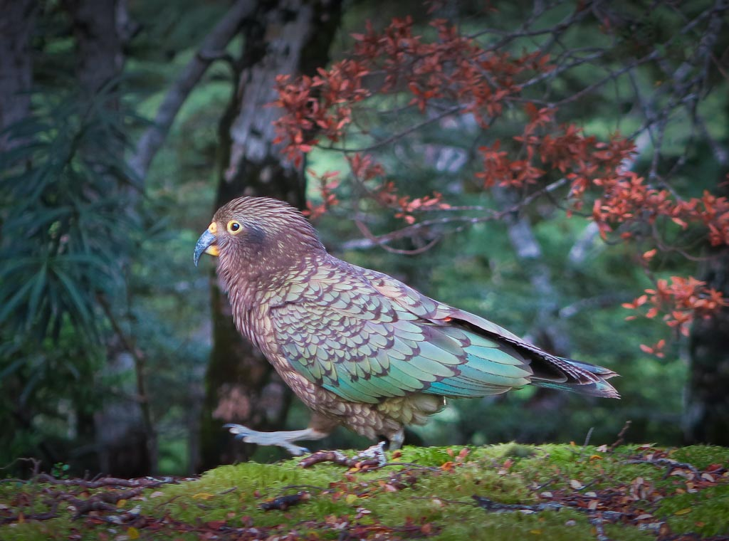 New Zealand's alpine parrot the kea, has the beak and has the brain, but that's not enough