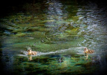 Ducks at Pupu Springs