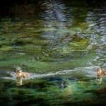 Ducks at Pupu Springs