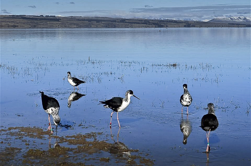 World's rarest wading bird the kakī / black stilt gets new lease on life