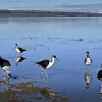 Black Stilts
