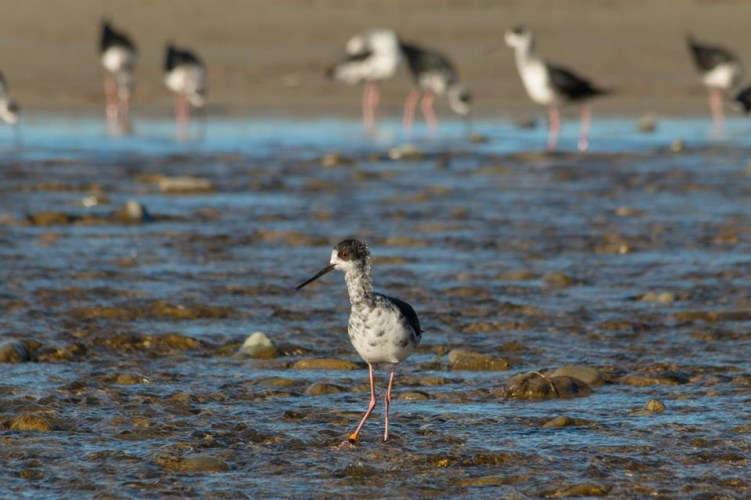 Black stilt kaki 4