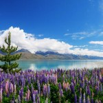 Lake Pukaki lupins and a wilding pine
