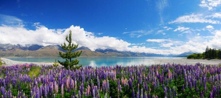 Lupins and a wilding pine - Lake Pukaki