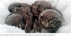 Little Owls, Ida Valley