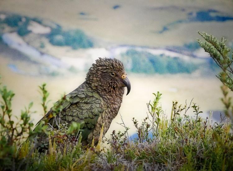 Kea, Fiordland