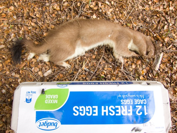 Dead stoat and eggs