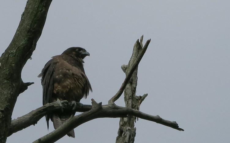 Juvenile NZ falcon / kārearea
