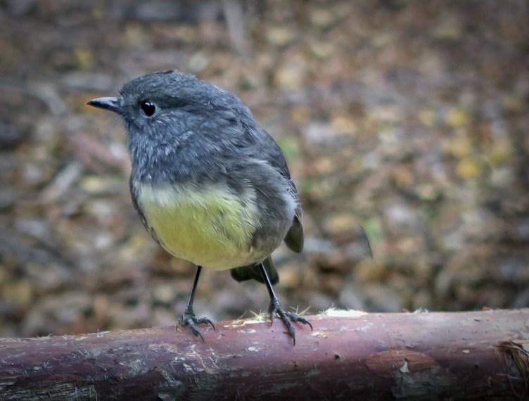 South Island robin / toutouwai