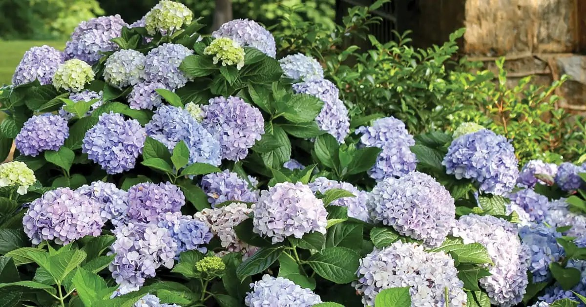 guide to hydrangeas getting