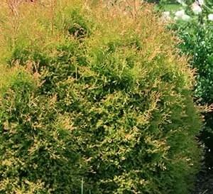 Plant Spotlight  Southern Living Plants