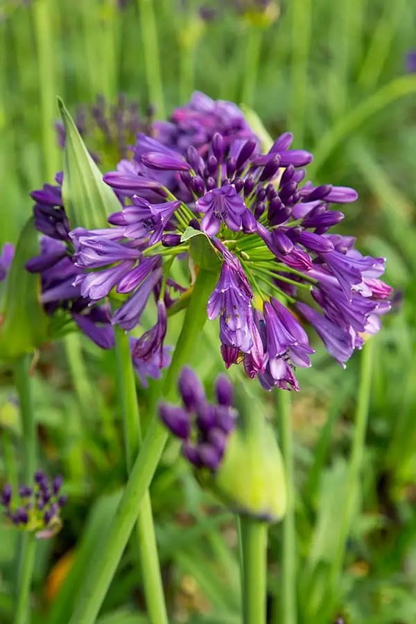 Ever Amethyst Agapanthus  Southern Living Plants