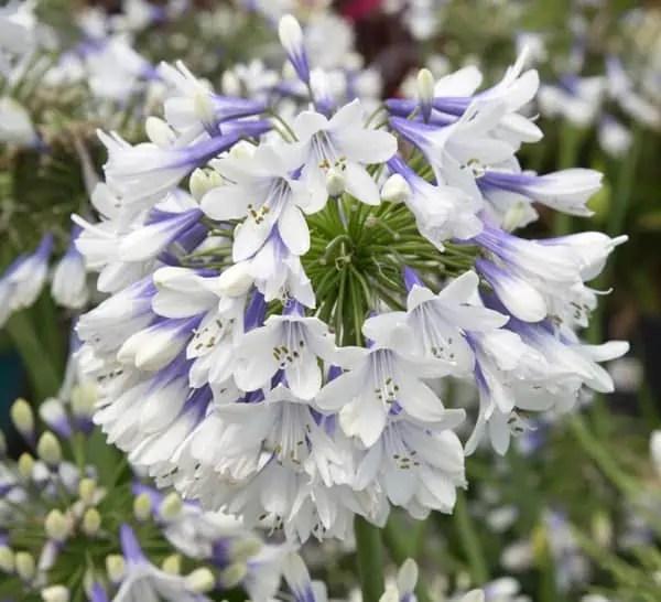 annuals perennials southern living