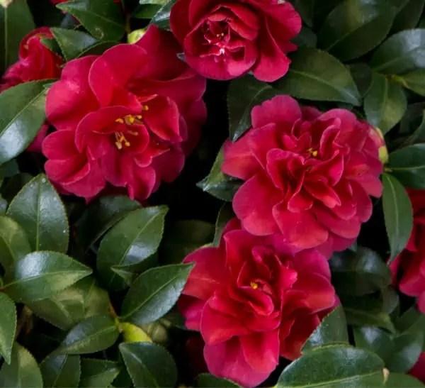 Zone 7 Flowering Shrubs