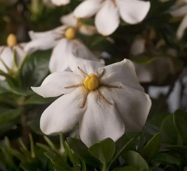 ScentAmazing Gardenia  Southern Living Plants
