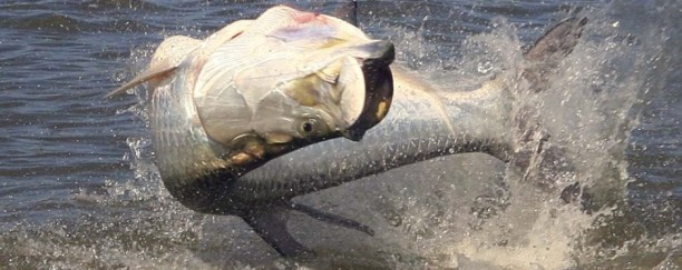tarpon jumping from the water