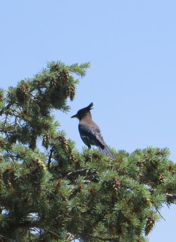 some kind of jay
