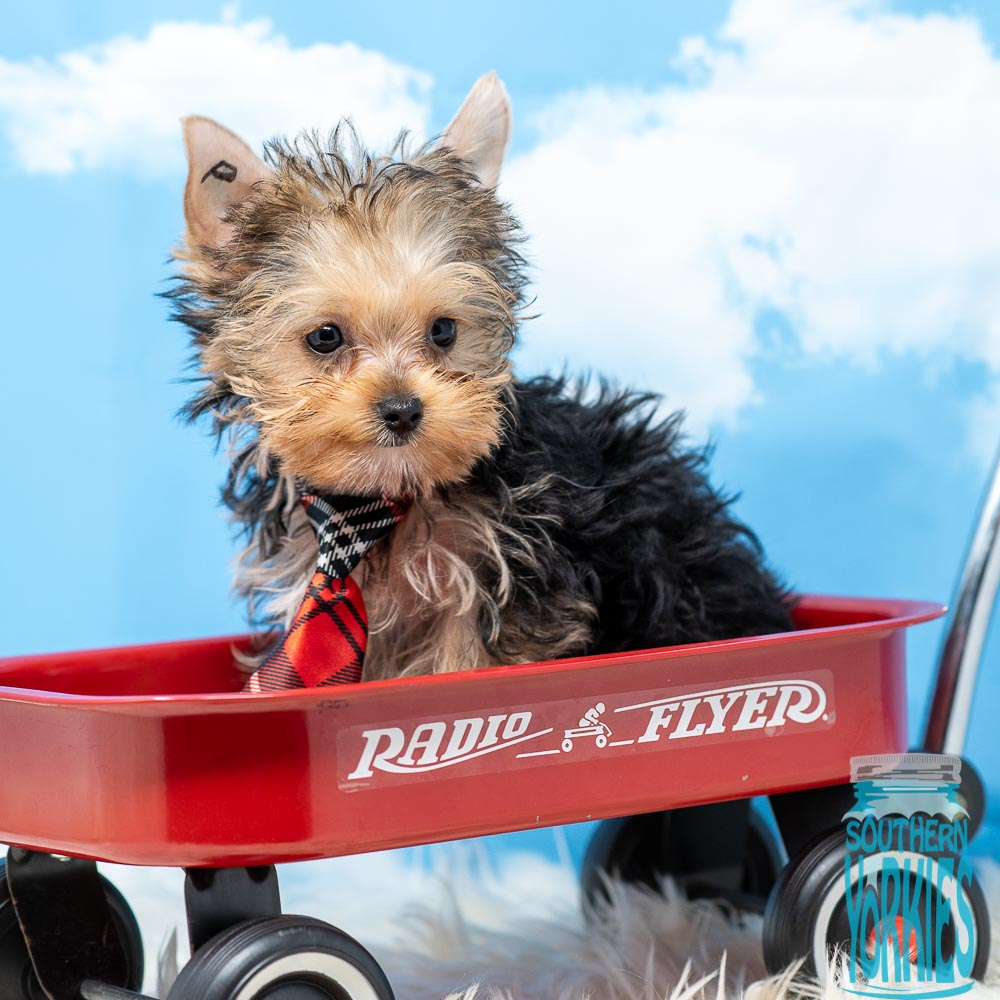 Available Puppies | Southern Yorkies
