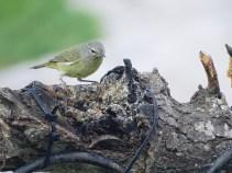 orange-crowned-warbler-looking-for-peanut-butter