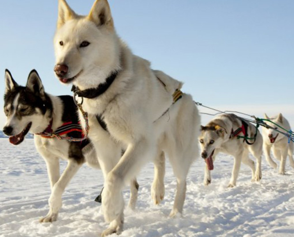 sled dogs southfield public library