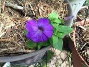 Lavendar Tie-Dye Petunia