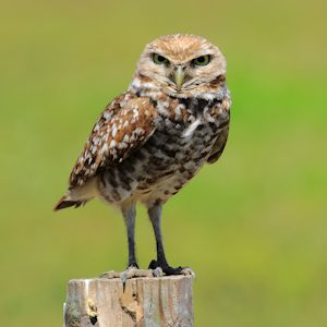 BurrowingOwl_TH2333
