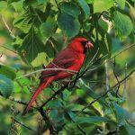Cardinal-TreeTops_TH3558