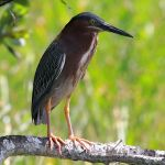 GreenHeron-TreeTops_TH2162