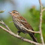 RedWingBlackbird-Female_TH3227