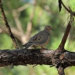 Dove-MiramarPineland_TH6323
